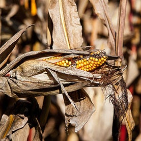 Fortified by Global Warming, Deadly Fungus Poisons Corn Crops, Causes Cancer
