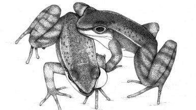 Frogs Signal Visually in Noisy Environments