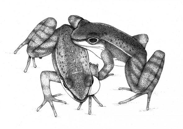 Frogs Signal Visually in Noisy Environments