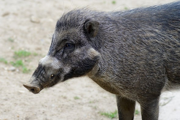 Add Another Animal to the List of Tool Users: Pigs