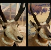 PRONGHORN ANTELOPE--BEFORE AND AFTER