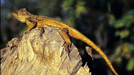 Endangered Dragon