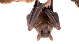 The Bat Man: Neuroscience on the Fly
