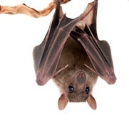 The Bat Man: Neuroscience on the Fly