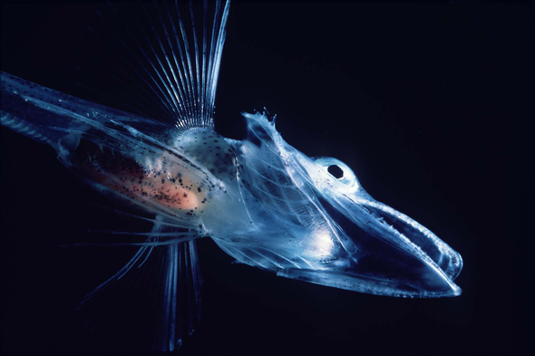 Icefish Study Adds Another Color to the Story of Blood