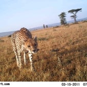 CHEETAH STALKING: