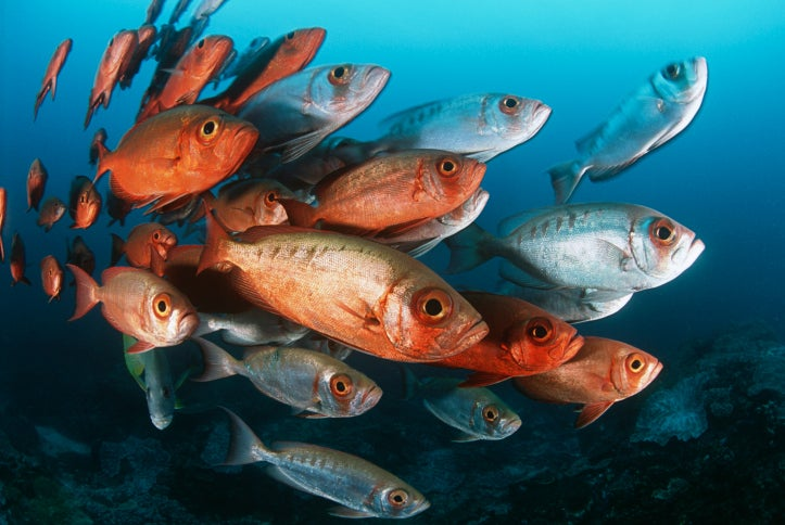 How fish cool off global warming scientific american for What do fish eat in the ocean