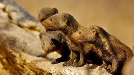 Mongooses Gift Grooming for Guard Duty