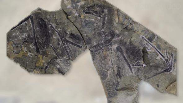 Bat-Winged Dinosaur Discovery Poses Flight Puzzle