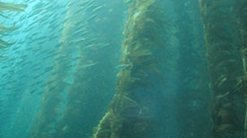 Radioactive Iodine from Fukushima Found in California Kelp