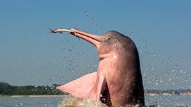 River Dolphins Have a Wide Vocal Repertoire