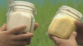"""Golden Rice"" Galvanizes Both Sides of Philippines Food Fight"