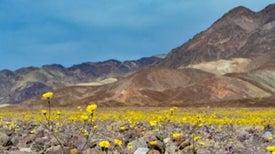 """Death Valley """"Super Bloom"""" Is a Rare Desert Wildflower Show"""