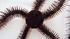 """Brittle Stars Can """"See"""" without Eyes"""