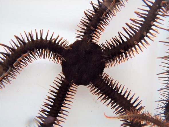 "Brittle Stars Can ""See"" without Eyes"