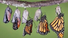 Planting Milkweed for Monarchs? Make Sure It's Native