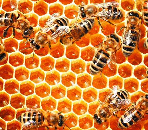 Queen Bee Sperm Storage Holds Clues to Colony Collapse