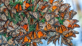 Save the Butterflies--but Not to Save Our Food Supply