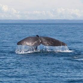 sperm-whale-fluke