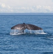 (Don't) Pump up the Volume: Sound Waves Silence Whales' Song
