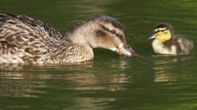 "Newborns Can Bond to a ""Mother"" from a Different Species"
