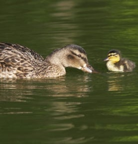 duckling-and-mother