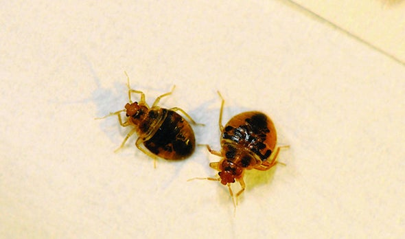 Chemical Cocktail Lures Bedbugs and Coaxes Them to Stay Put