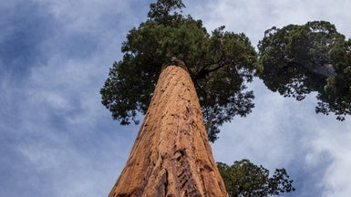 How Do You Move a Giant Sequoia?