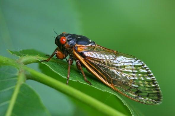 Noisy Cicadas Are Widely Misunderstood