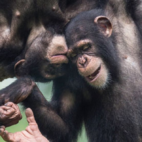 Orphaned Chimpanzees Play Rougher Than Their Mother-Reared Counterparts