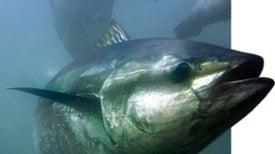 The Bluefin in Peril
