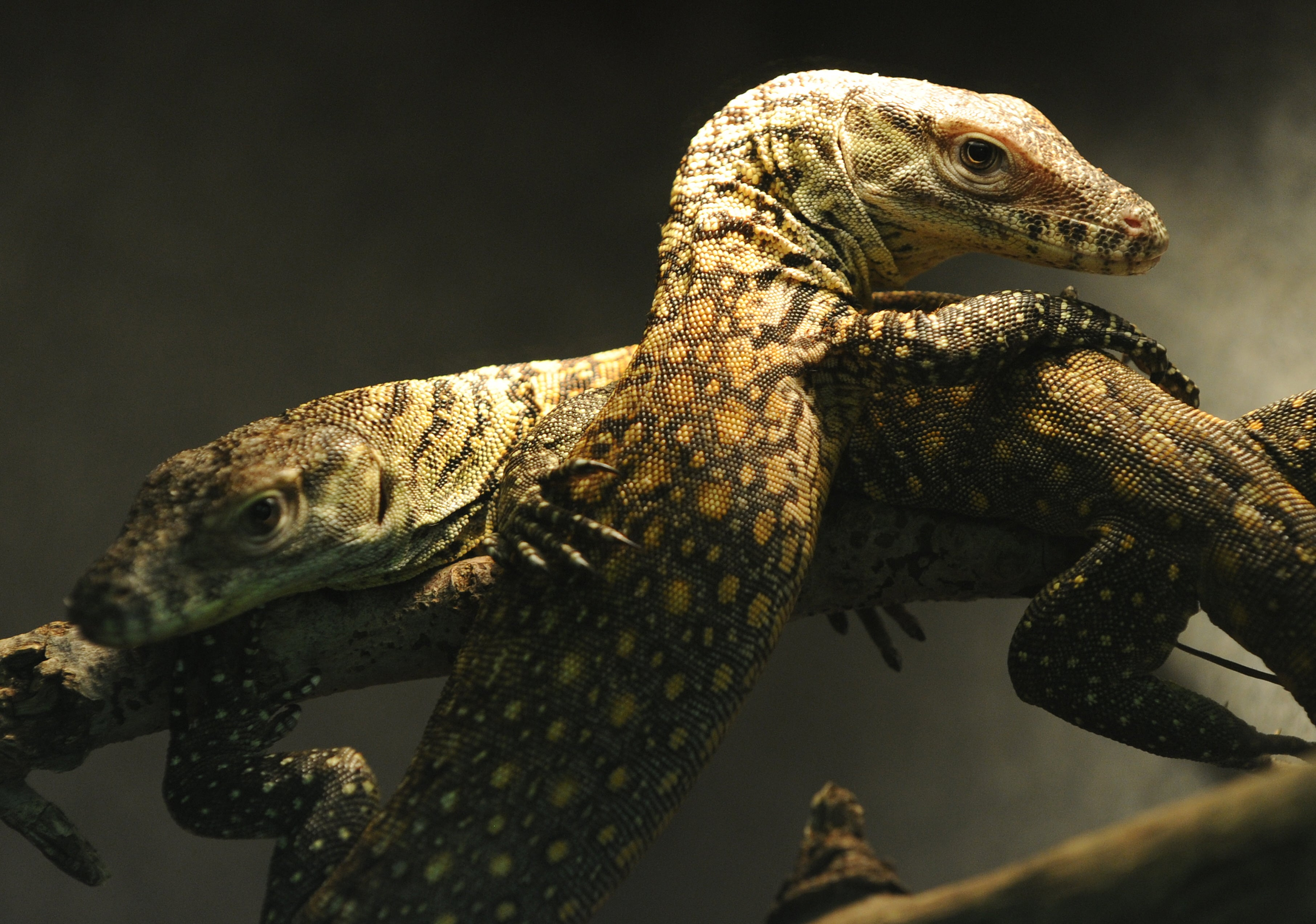 Strange but True: Komodo Dragons Show that \