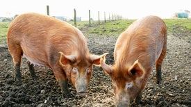 WHO Moves to Contain Superbugs on the Farm