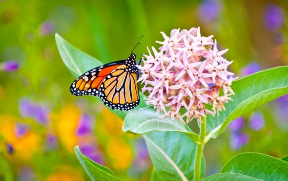 Study on Weed Killers and Monarch Butterflies Spurs Ecological Flap