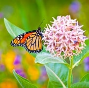 Study on Weed-Killers and Monarch Butterflies Spurs Ecological Flap