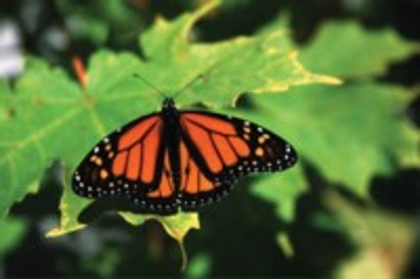 How Monarchs Make Their Way to Mexico