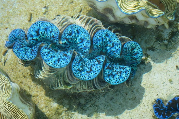 Giant Clams' Iridescent Lips Snatch Solar Energy