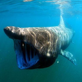 New England Basking Shark and Ocean Sunfish Project