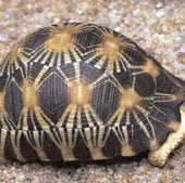 RADIATED TORTOISE: