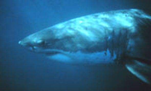 Special Gel Helps Sharks Sense Cold
