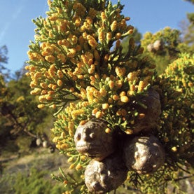An Endangered Species Act Success: California's Santa Cruz Cypress