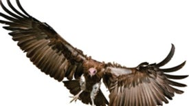 Vultures Face Extinction and Indifference