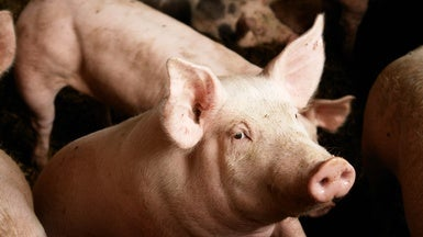 Gene-Editing Success Brings Pig-to-Human Transplants Closer to Reality