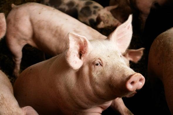 Gene-Editing Success Brings Pig-to-Human Transplants Closer to Reality
