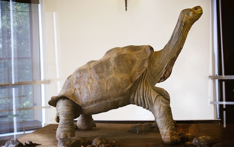 Lonesome George, the Giant Tortoise, Preserved in All His Glory