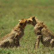 Tinder For Cheetahs; and An Unusual Blindness