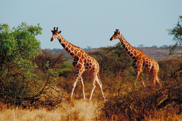 Lion Conservation Challenges Giraffe Protection