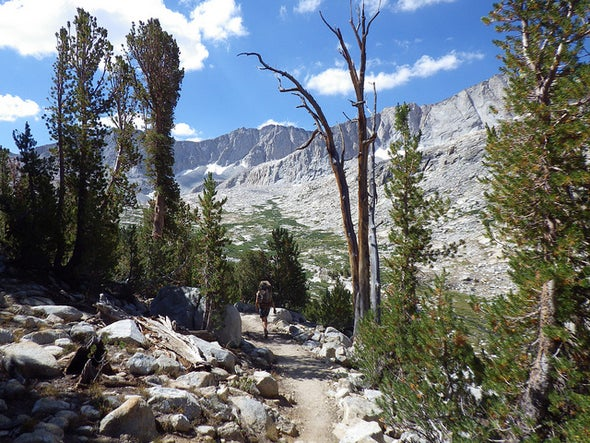 Yellowstone's Iconic High Mountain Pines Dying by Beetle's Mouth