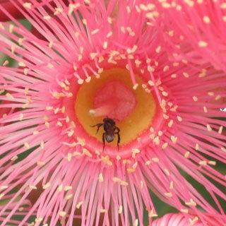 Stingless Bees Mummify Enemies