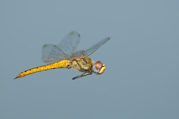 This Dragonfly Outmigrates Monarchs